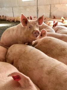 Pregnant sows in a local farm