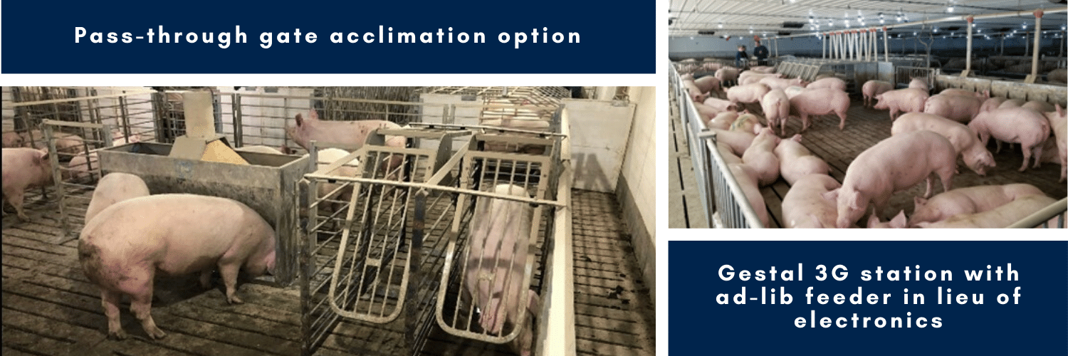 Training Group Housed-Sows