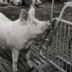 mixing gilts and sows